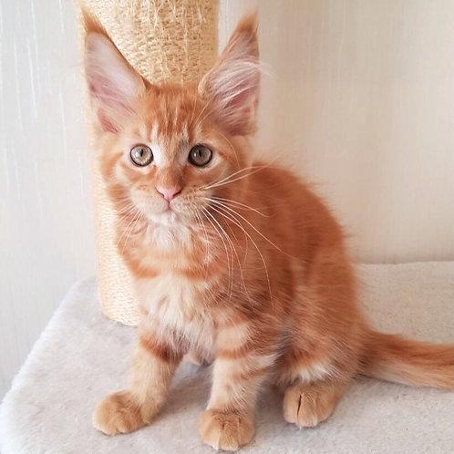 384 Gabby  Maine Coon female kitten