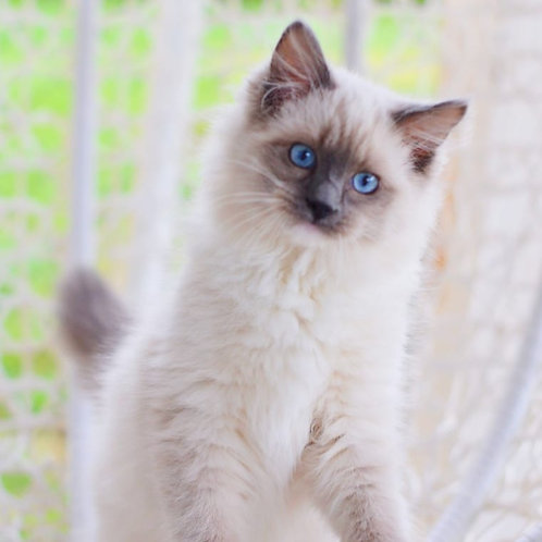 507 Fill  Ragdoll male kitten