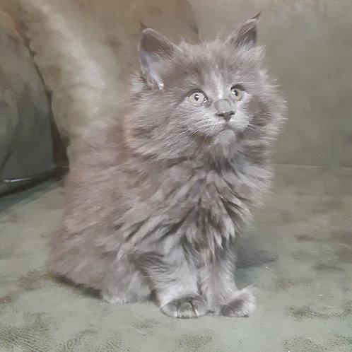 Don Juan Maine Coon male kitten