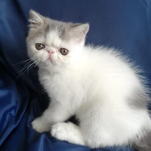 141 Mario  Exotic  male kitten