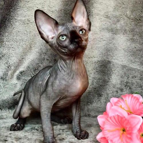 530 Tisson male Sphinx kitten
