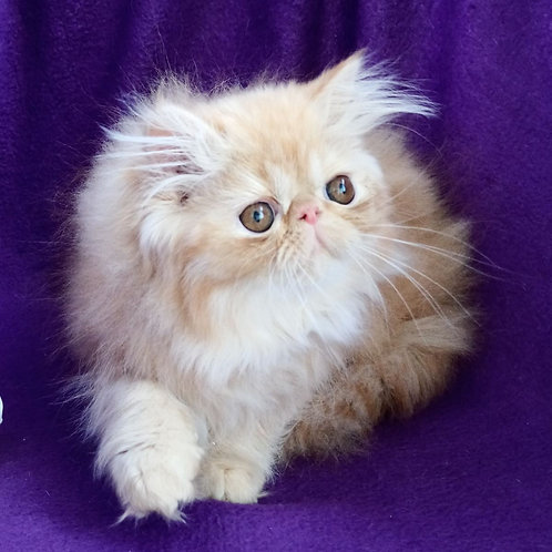 145 Bonita   Persian  female kitten