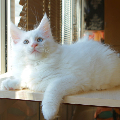 ELF Maine Coon male kitten