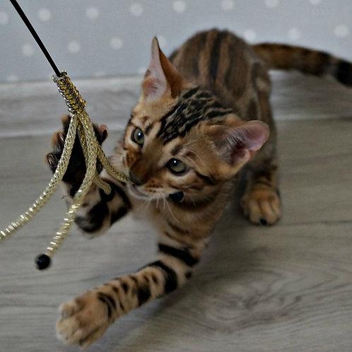 173 Benjamin  purebred Bengal male kitten