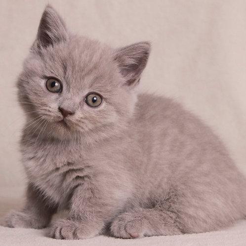 307 Mult  Munchkin male kitten