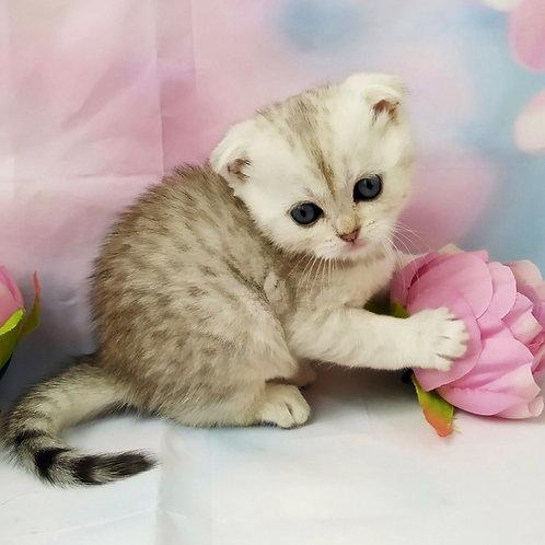 377 Cacik  Scottish fold shorthair male kitten