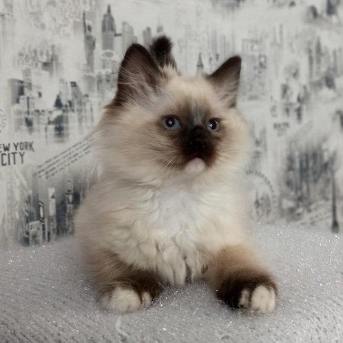 109 Urchy    Ragdoll male kitten
