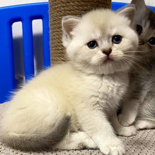 609 Benkli  British shorthair male kitten