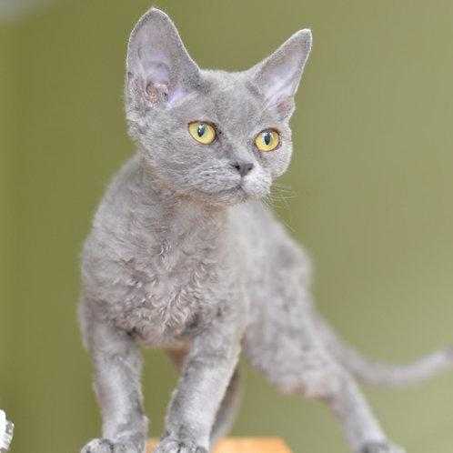 470 Qeena female kitten Devon Rex