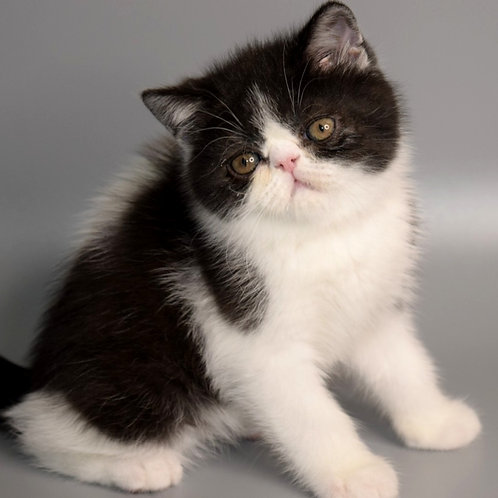 135 Harisson   Exotic  male kitten
