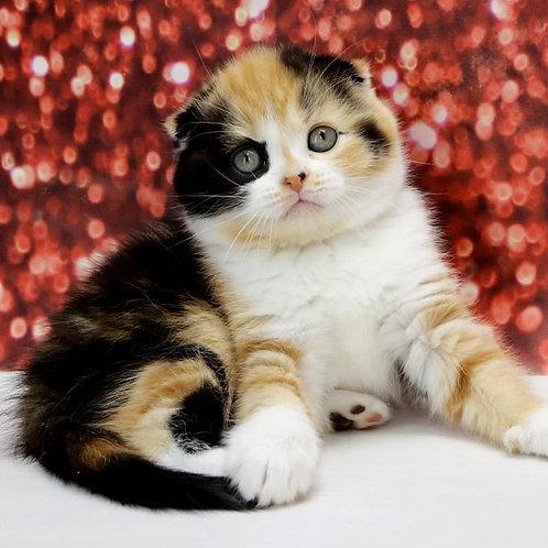 667 Cherry   Scottish fold shorthair female kitten