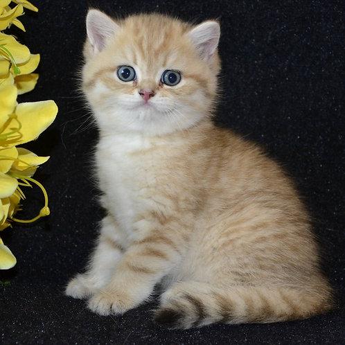 Stoun British shorthair male kitten
