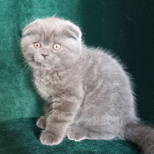 785 Bright   Scottish fold shorthair male kitten