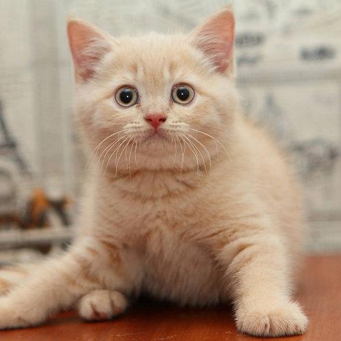 765 Comandor  British shorthair male kitten