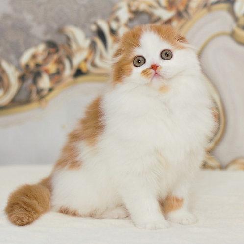 601 Ashley   Scottish fold longhair male kitten