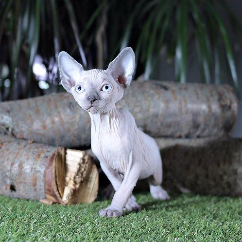 354 Terry female Sphinx kitten