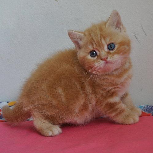 Zabava British shorthair female kitten