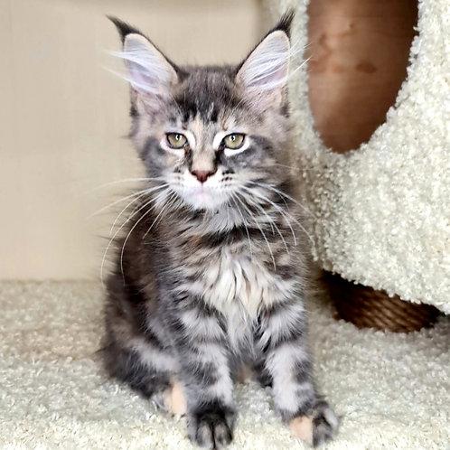 804 Ameli  Maine Coon female kitten