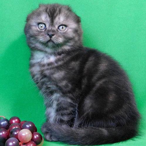 421 Harley    Scottish fold shorthair male kitten