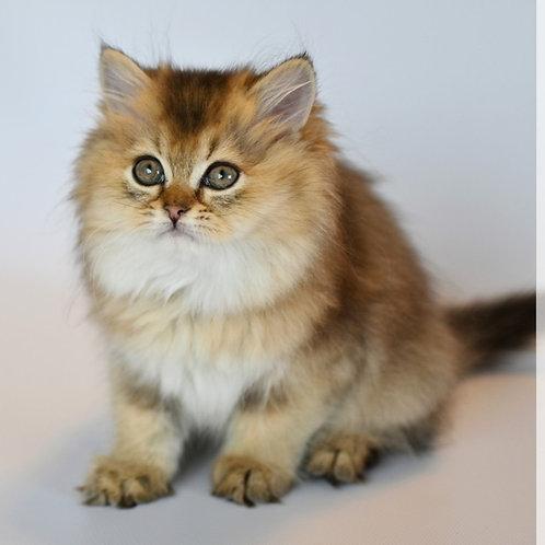 771 Branx   Scottish straight longhair male kitten