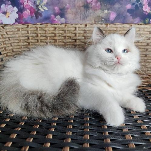 88 Barbie   Ragdoll female kitten