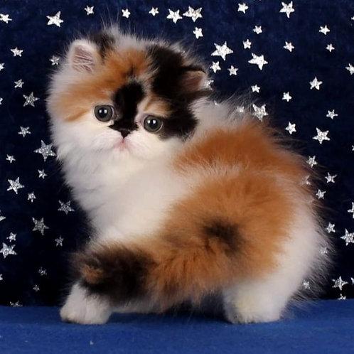 81 Berry   Persian  female kitten