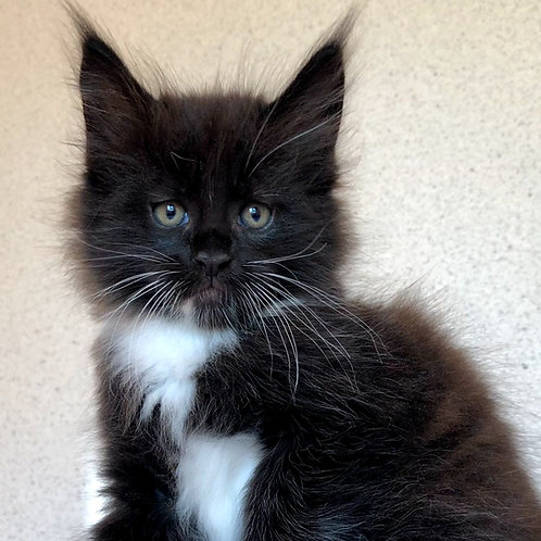 562 Angel  Maine Coon male kitten