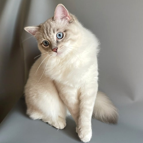 81 Simba    Ragdoll male kitten