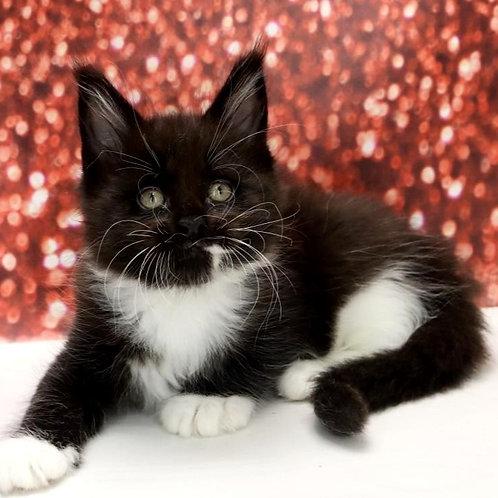 556 Lima  Maine Coon female kitten