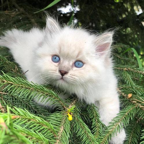 Lucky Siberian male kitten