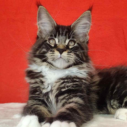 189 Kaiser   Maine Coon male kitten