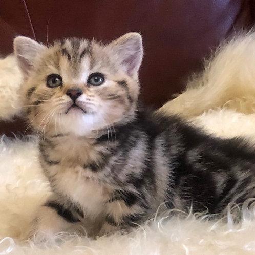 756 Sliva   Scottish straight shorthair female kitten