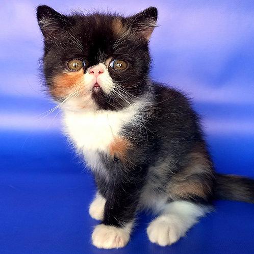 52 Beatriss   Exotic shorthair female kitten