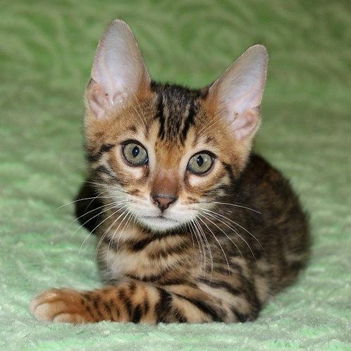 157 Amigo  purebred Bengal male kitten
