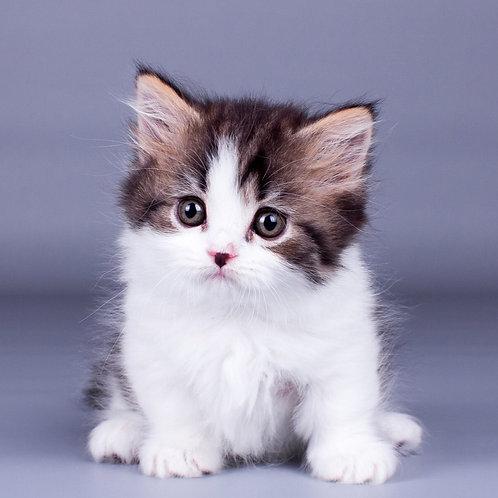 Brado Munchkin male kitten