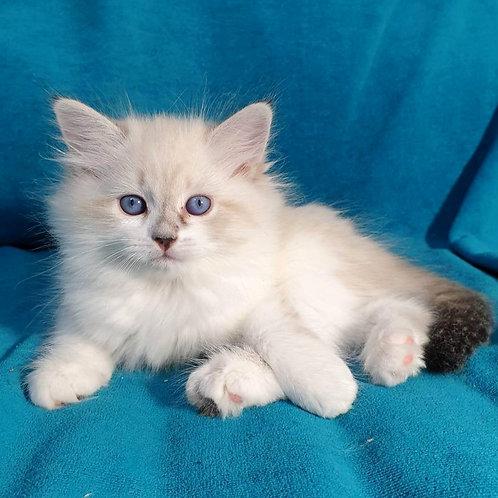 189 Vesnushka    Siberian female kitten
