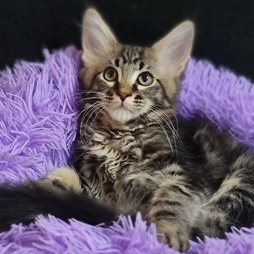 857 Nikas  Maine Coon male kitten