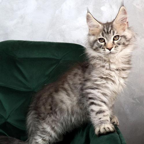 390 Fidel  Maine Coon male kitten