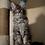 Thumbnail: 209 Amethyst  Maine Coon male kitten