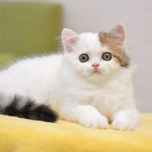 762 Pilot   Scottish straight longhair male kitten