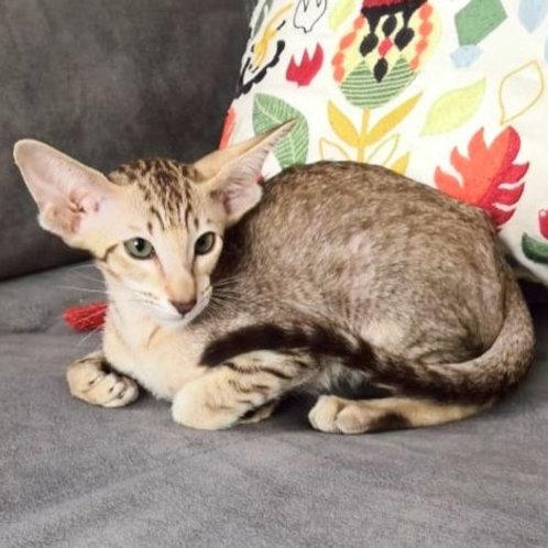 432 Iden Oriental male kitten