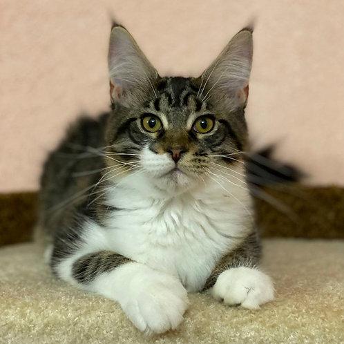 351 Bianca    Maine Coon female kitten