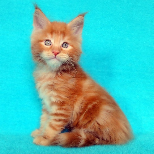 Franz Maine Coon male kitten