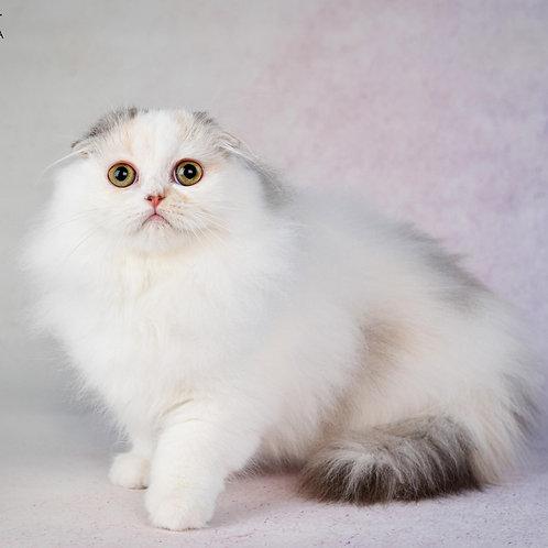 465 Juliet  Scottish fold longhair female kitten