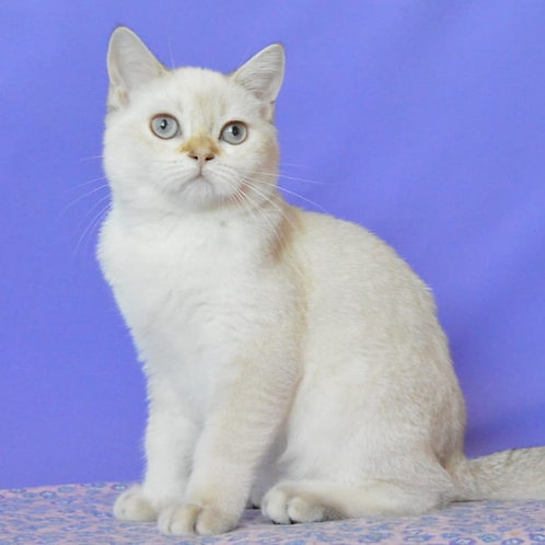404 Steven   Scottish straight shorthair male kitten