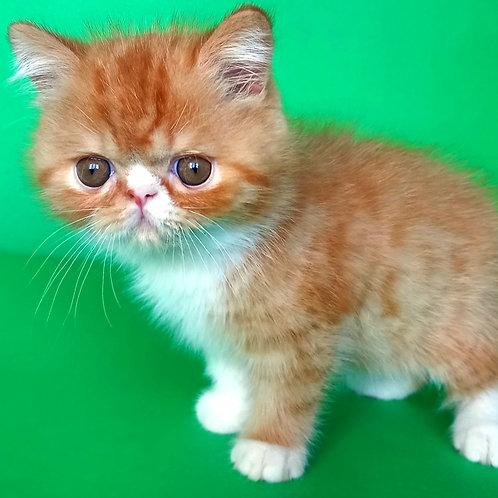 51 Benjamin   Exotic shorthair male kitten