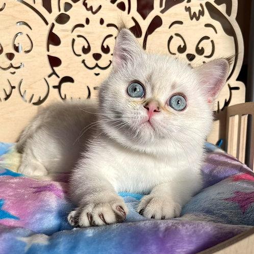 280 Lacy    Scottish straight shorthair male kitten