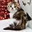 Thumbnail: 669 Caramel   Scottish fold shorthair female kitten