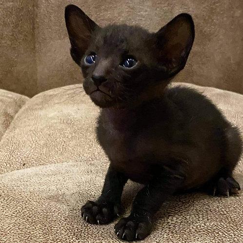 218 Fantom   Oriental male kitten