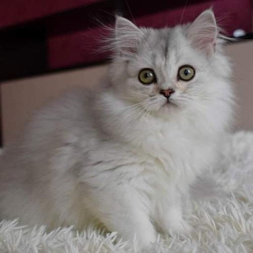 521 Fabulous Girl Scottish straight longhair female kitten